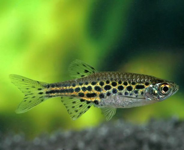 Gold ring danio arizona aquatic gardens for Freshwater schooling fish