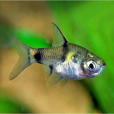 Golden Dwarf Barb Tropical Fish