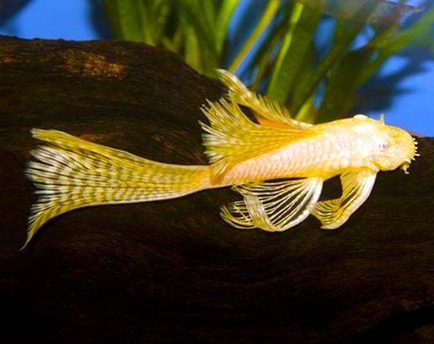 Golden longfin bushy nose pleco pond fish arizona for Golden ornamental pond fish