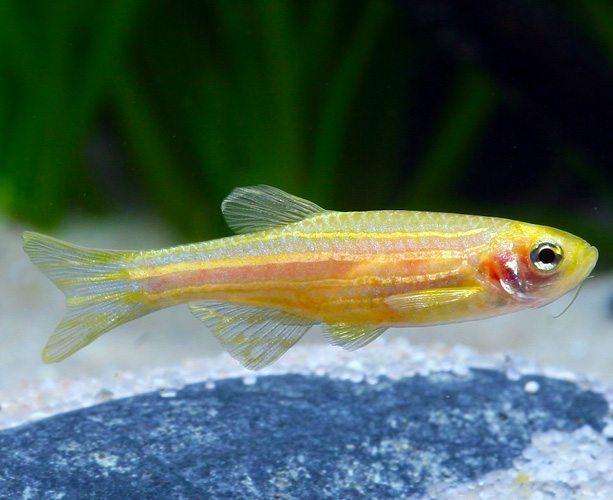 Golden zebra danio arizona aquatic gardens for Freshwater schooling fish