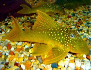 Green Phantom Pleco Pond Fish
