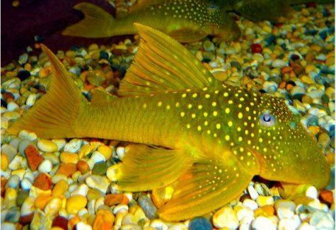 Freshwater algae eaters archives arizona aquatic gardens for Algae eating fish for ponds