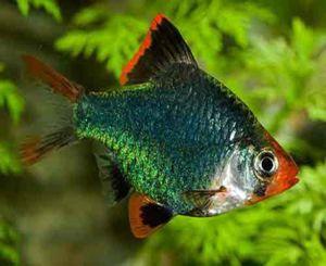 Green Tiger Barb Tropical Fish