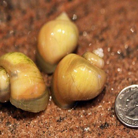 Ivory Bush Grazer Aquatic Pond Snail