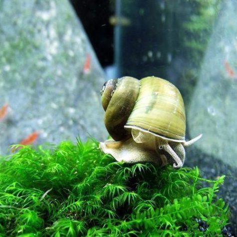 Japanese Trap Door Aquatic Pond Snail