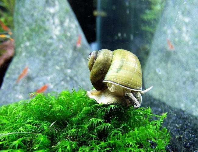 Japanese trap door aquatic pond snail arizona aquatic for Garden pond snails