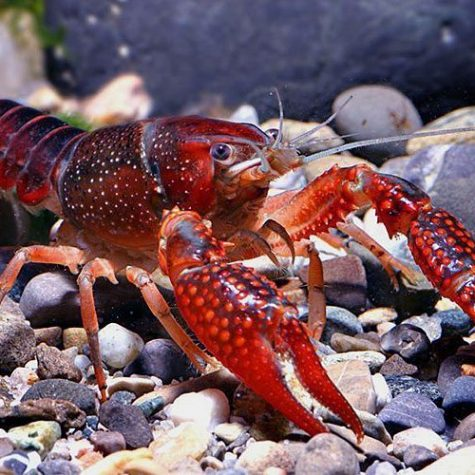 King Red Tiger Freshwater Lobster