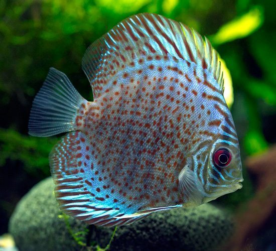 """Alenquer Red Discus Fish 2.5"""" 10 Pack"""