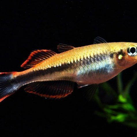 Madagascar Tropical Rainbowfish