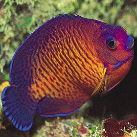 Marine Coral Beauty Angel