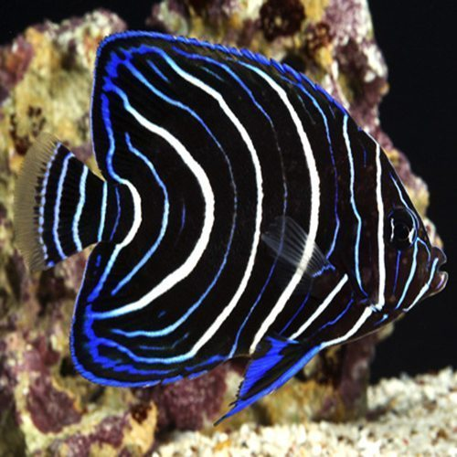 Marine Koran Angelfish Juvenile