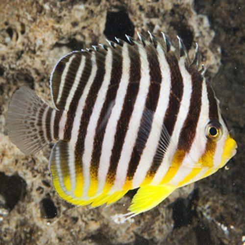 Multi Barred Angelfish