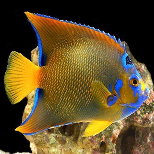 Queen Angelfish Adult