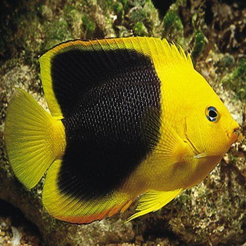 Rock Beauty Angelfish