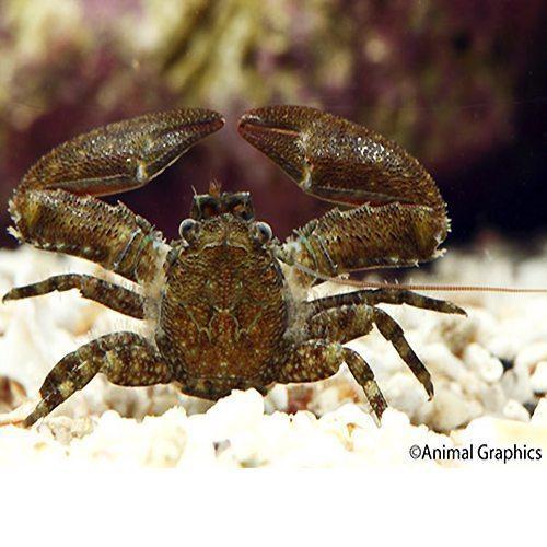 Marine Porcelain Crab