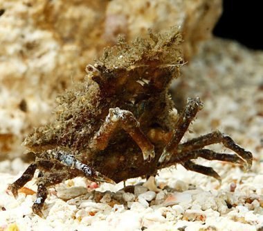 Marine Sponge Crab