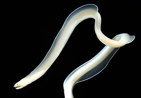 Ghost Ribbon Eel