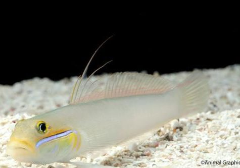Marine Gold Head Sleeper Goby