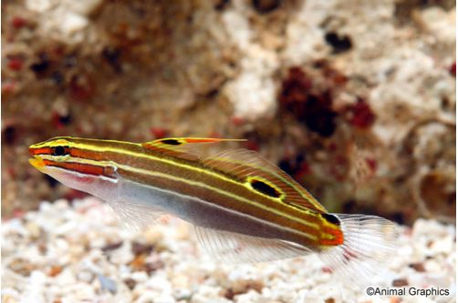 Marine Hector's Goby
