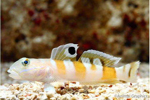 Marine Tiger Sleeper Goby