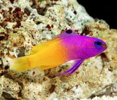 Gramma Royal Pseudochromis