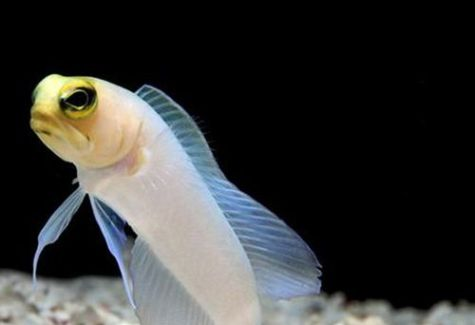 Pearly Jawfish