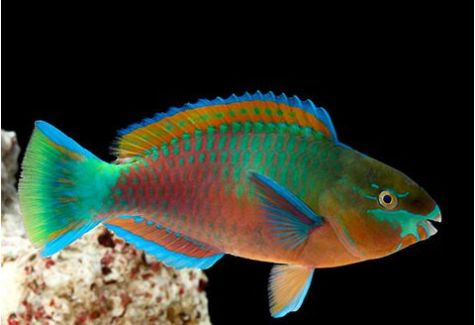 Marine Green Parrotfish Female