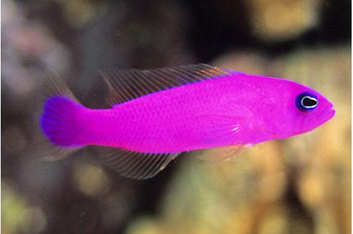 Marine Purple Pseudochromis