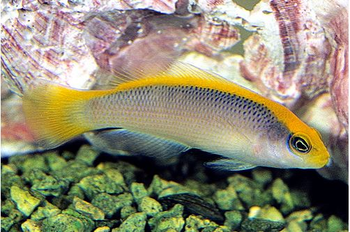 Marine Sunrise Dottyback Pseudochromis Tank Raised