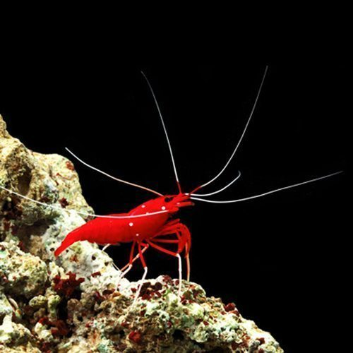 Marine Fire Shrimp