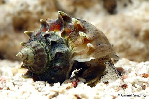 Marine-Snail-Kings-Crown-Snail