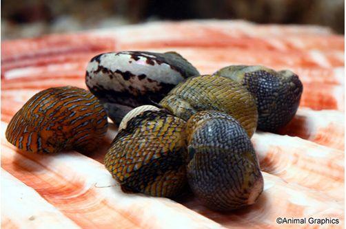 Marine-Snail-Nerite-Snail-Assorted