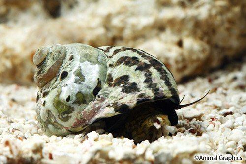 Marine-Snail-Zebra-Turbo-Snail