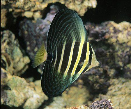 Marine-Tang-Sailfin