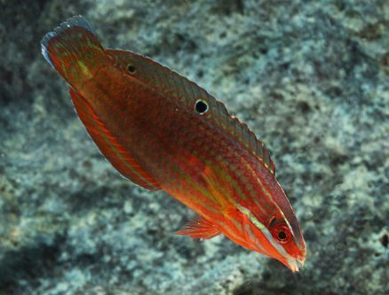 Red Line Wrasse
