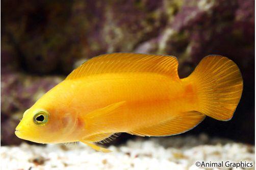 Marine Yellow Pseudochromis