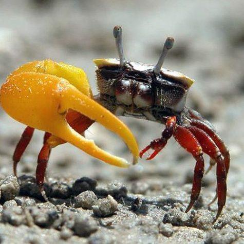 Mini Algae Eating Fiddler Crab