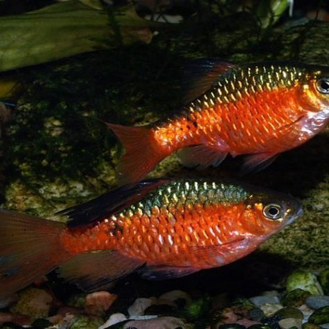 Neon Rosy Barb Tropical Fish