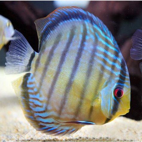 Nhamunda Blue Face Heckel Discus Fish