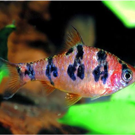 Orange Buffalo Rhombo Barb Tropical Fish