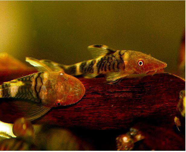 Otocinclus algae eater arizona aquatic gardens for Algae eating fish for ponds