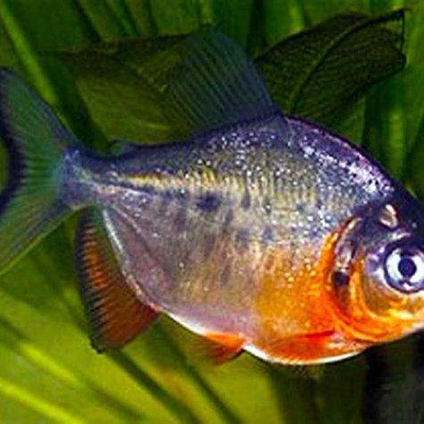 Pacu Red Belly Piranha