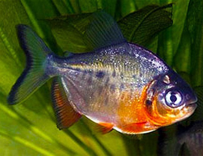 Marbled hatchetfish arizona aquatic gardens for Pacu fish for sale