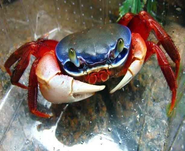 Patriot Crab