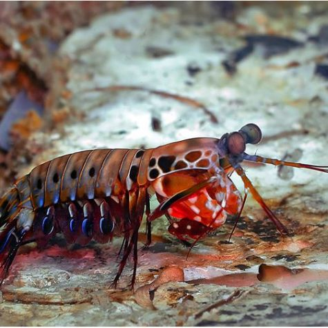 Peacock Mantis Saltwater Shrimp