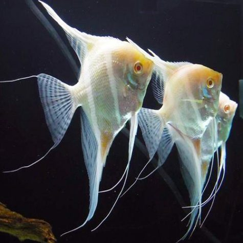 Pterophyllum Albino Altum Angelfish - Tank Raised
