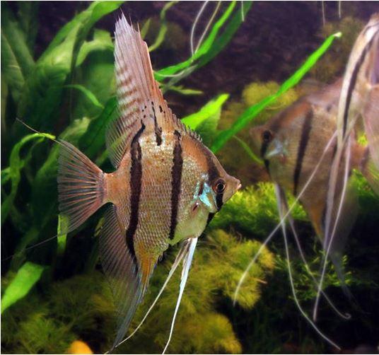 Pterophyllum Altum Peruvian Wild Angelfish