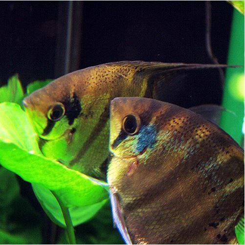 Pterophyllum Leopoldi Angelfish