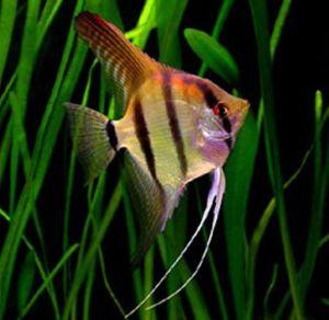 Pterophyllum Scalare Angelfish Breeder Size Assorted Varieties