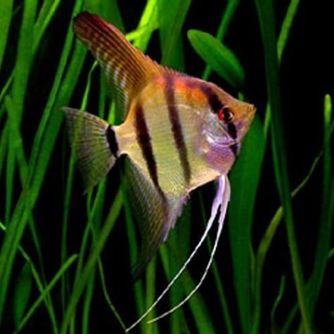 Pterophyllum Scalare Angelfish Breeder Size Assorted Varieties